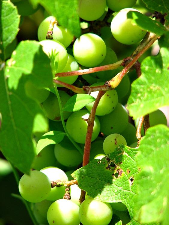 Fresh Green Grapes - KintheKitchen