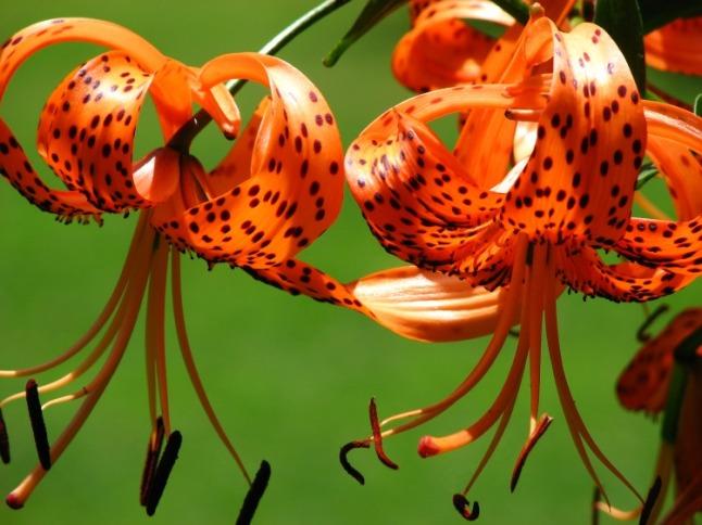 Tiger Lilies - KintheKitchen