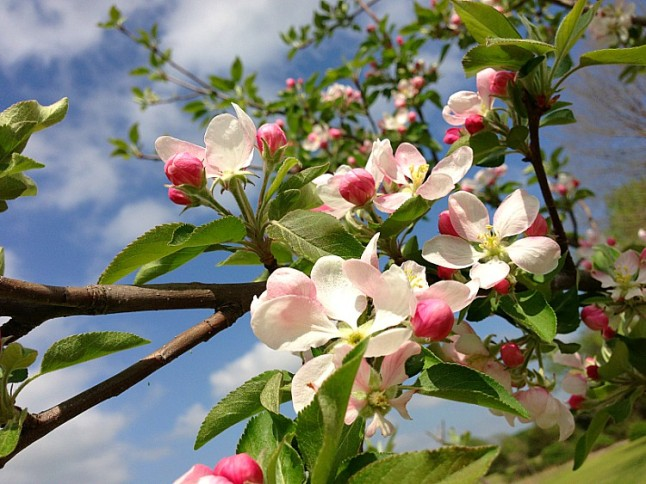Apple Blossons KintheKitchen