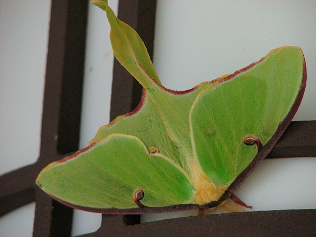 Luna Moth KintheKitchen