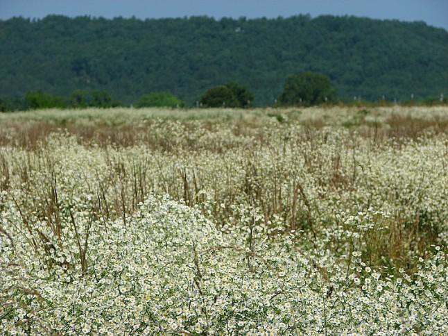 Fieldflowers -KintheKitchen